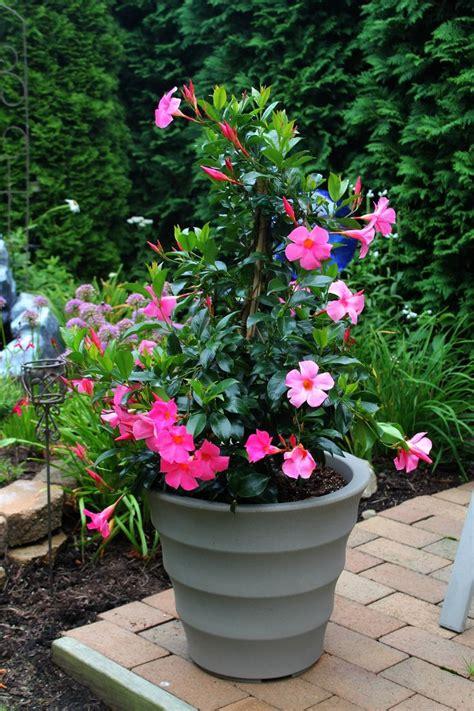 7 Best Mandevilla Gardenpots Climbinghanging Baskets