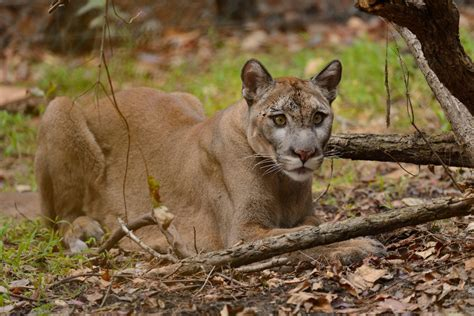 No Home For The Florida Panther  The New Yorker