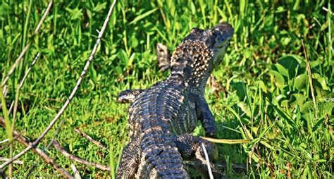 Airboat Tours By Arthur Matherne by Airboat Tours By Arthur Matherne Des Allemands La