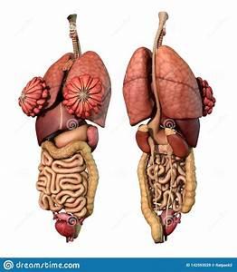 Internal Organs- Adult Female