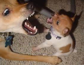 Toy Rat Terrier Puppies