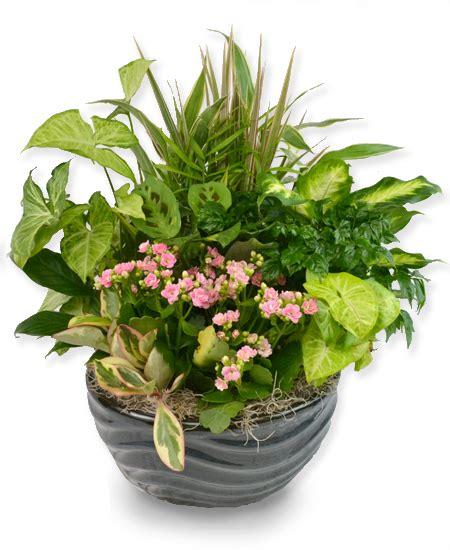 Plants  Dish Garden Ceramic Planter  Premium Rochester
