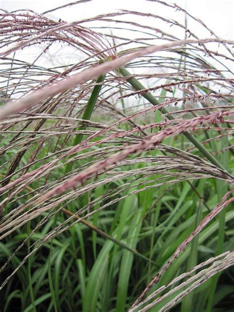 Miscanthus Sinensis Silberfeder Gartenschilf Silberfeder
