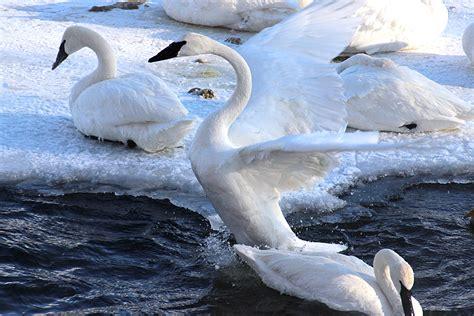 swan trumpeter display swans 1024 birds