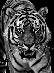 Tiger Schwarz Weiß : free photo tiger predator fur free image on pixabay 2516232 ~ Watch28wear.com Haus und Dekorationen