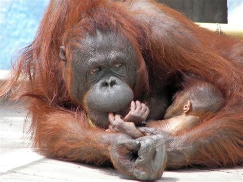 captive breeding case studies national geographic society