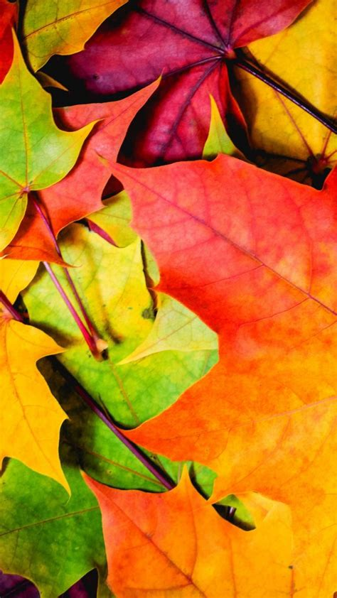 wallpaper leaves   wallpaper  colorful autumn