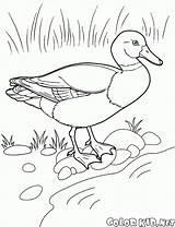 Colorare Disegni Coloring Pato Dibujos Colorear Dibujo Kaczka Flamingo Oat Dibujar Pelican Colorkid Corbeau Birds Malvorlagen Pintar Juegos Duck Canard sketch template