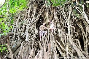 "tree hugging: the ""MILLENNIUM TREE"" at Balete Park Aurora"