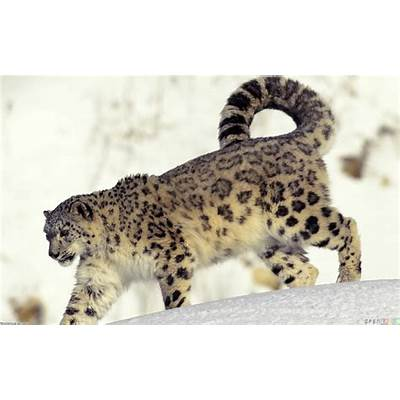 Snow leopard wallpaper #3327 - Open Walls