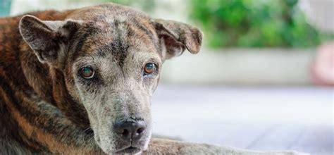 Suņu - senioru izplatītākās veselības problēmas - Whisker