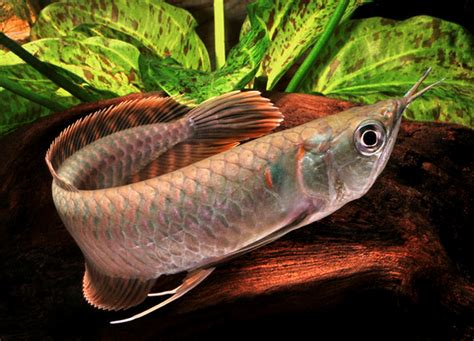 arowana information types feeding  care