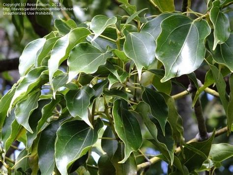 Best Images About Cinnamomum On Pinterest