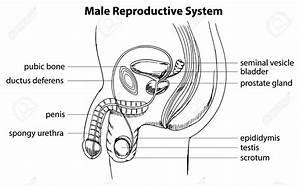 Male Reproductive Organ Sketch Education Diagrams ...