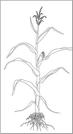 Corn On the Cob Coloring Page   Posts related to Corn
