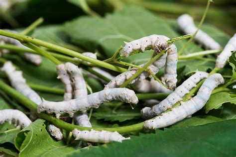 how to get rid of silkworms silk worms andalucia travel
