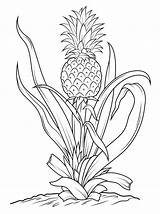 Pineapple Coloring Tree Drawing Printable Fruits Fruit Pineapples Vegetables Template Line Canvas Paper sketch template