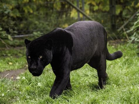 A page for describing characters: Villages on alert as black panther reported to be on the loose | Shropshire Star