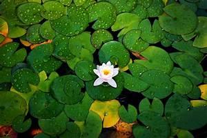 Water Lily Hd Wallpaper
