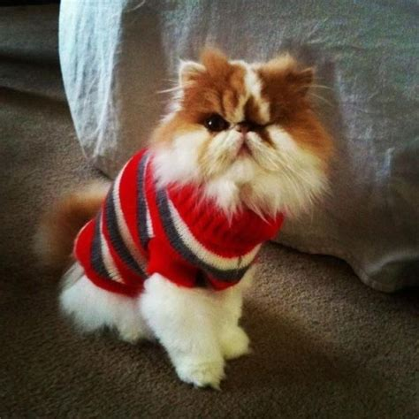 cat sweaters for cats zooey 39 s cat in a sweater cat city trick