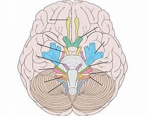 Cranial Nerves Matching