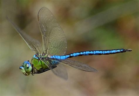 emperor dragonfly in flight nature