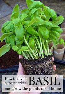 How To Grow Grocery Store Basil