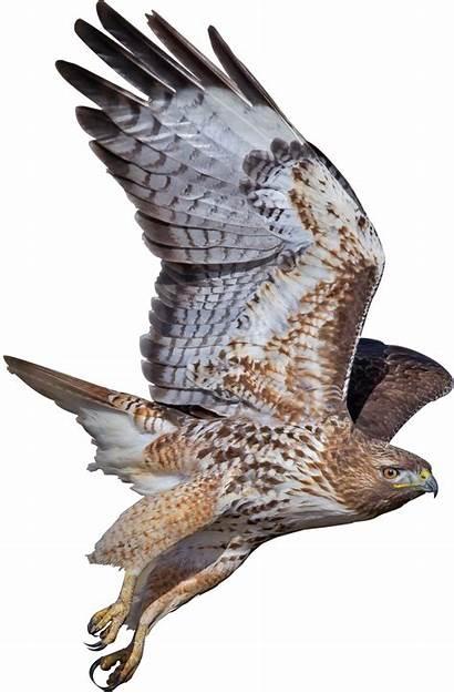 Falcon Burung Clip Elang Gambar Peregrine Transparent