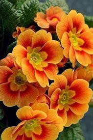 Orange Primrose Flowers