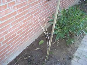 Oleander Draussen überwintern : oleander hat nach winterpause braune bl tter pflanzen botanik green24 hilfe pflege bilder ~ Eleganceandgraceweddings.com Haus und Dekorationen