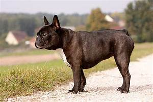 Hundebekleidung Französische Bulldogge : bulldoggen ~ Frokenaadalensverden.com Haus und Dekorationen