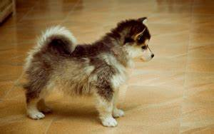 Pomeranian Husky Mix - Everything You Need To Know ...
