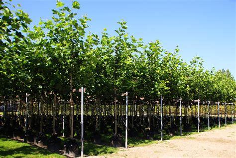 ahornblaettrige platane platanus acerifolia hispanica