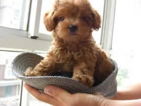 french poodle perros activos listos juguetones y amigables
