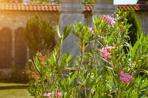 oleander schneiden wann oleander schneiden anleitung und tipps zum richtigen schnitt