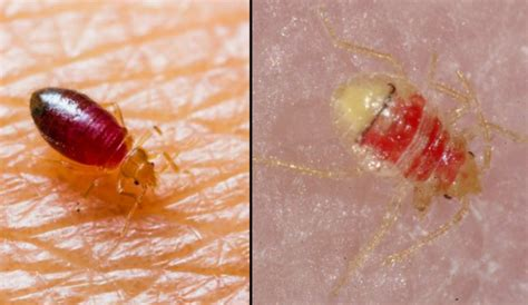 do bed bugs come out when the lights are on do bed bugs come out in light 28 images where do you