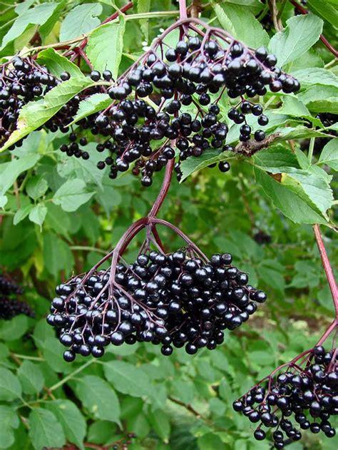 vlierbes in tuin geef je immuunsysteem een boost met de vlierbes