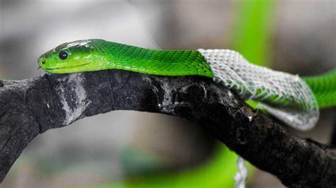 Shedding Snake amazing footage of snake shedding it s skin