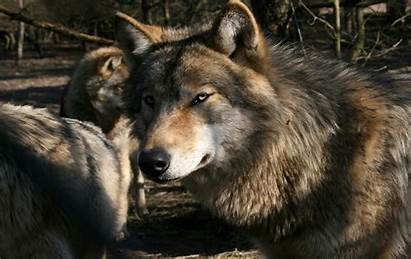 Gray Wolves Animals Wallpapers Mammals Definition Updated