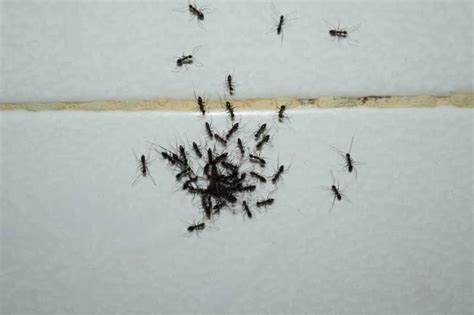 fascinating tiny black ants  bathroom  home