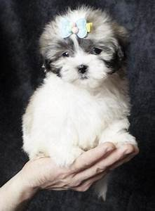Shichon, Puppy, For, Sale