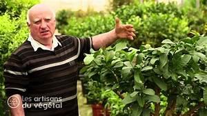 Planter Un Citronnier : bien comment tailler un citronnier 6 comment et quand ~ Melissatoandfro.com Idées de Décoration