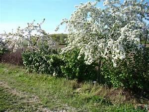 Quels Arbustes Pour Une Haie : arbre pour cacher vis a vis arbres et arbustes arbustes ~ Premium-room.com Idées de Décoration