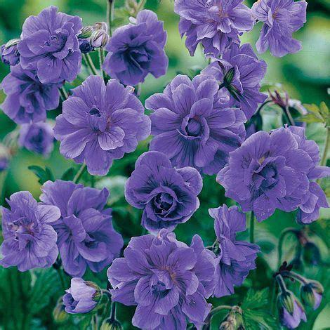 geranium himalayense plenum hardy van meuwen