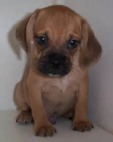 puggle puppyjpg dog breeds picture