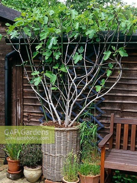 espalier fruit trees in containers gap gardens espalier trained ficus brown turkey fig tree in willow basket container