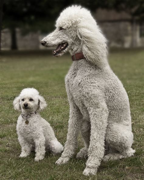 Dogs That Dont Shed Large Small Breeds List