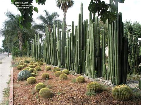 Desert Botanical Gardens In Phoenix by Plantfiles Pictures Central Mexico Pipe Organ Organo
