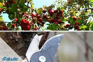 Wann Apfelbaum Pflanzen : anleitung apfelbaum selbst schneiden apfelbaumschnitt ~ Lizthompson.info Haus und Dekorationen