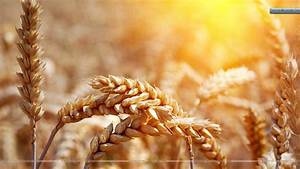 Awesom Wheat Wallpaper In Sunset Wallpaper